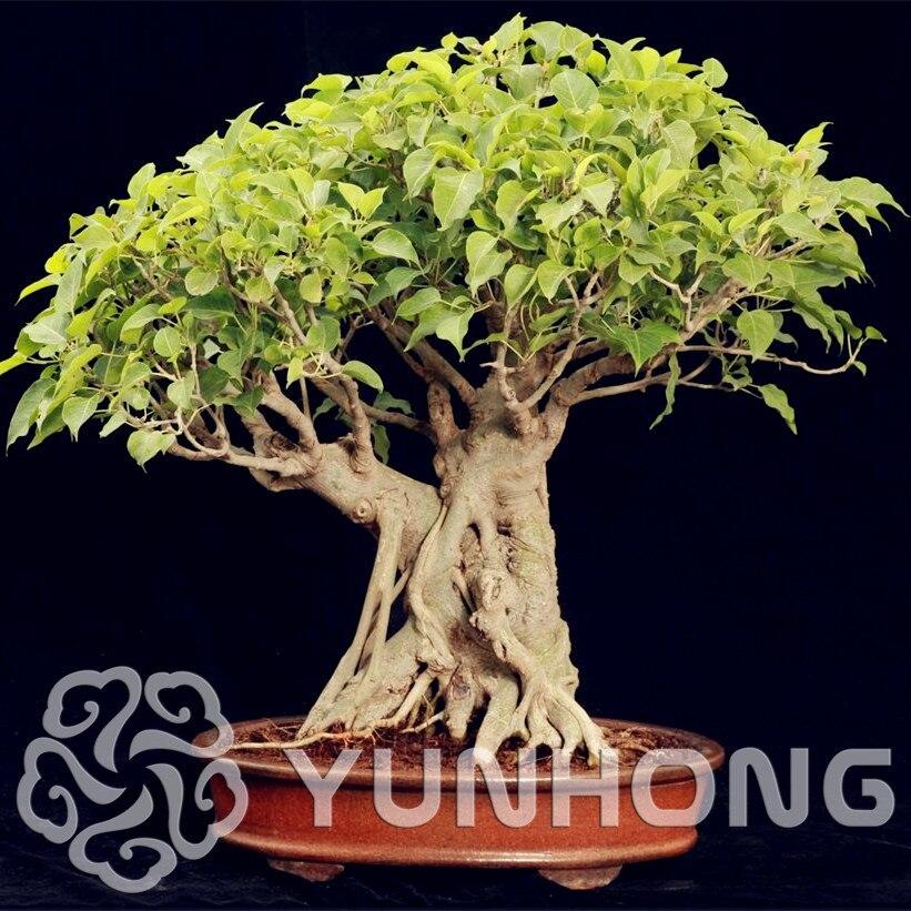 5 шт. широко культивированный Peepal Ficus Religiosa бонсай семейство тутовых многолетний священный рис бонсай полу-evergreen Bodhi дерево