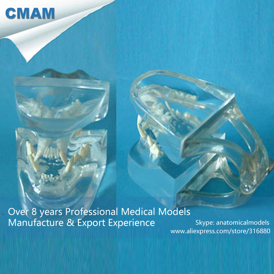 ФОТО CMAM-A15 Anatomical Cat Head / Transparent Cat Skull Model - Medical Veterinary Anatomy, Animal Skeleton Anatomy Model