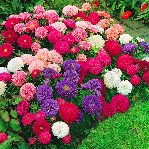 Garden Supplies Chinese Chrysanthemum Flower Garden For Home Gaden Plant High Sprouting Easy To G Independent Big Sale!200 Pcs/bag Multi-color Aster Bonsai