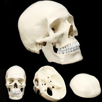 Модель черепа анатомическая модель головы человека медицина череп анатомическая голова человека обучающая модель для изучения анатомии п... >> Welcome to our Store