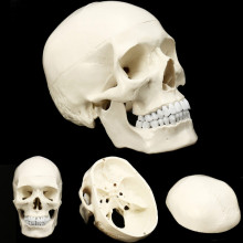 Skull-Model Medicine Teaching-Supplies Anatomy-Head Human-Head-Anatomical-Model of