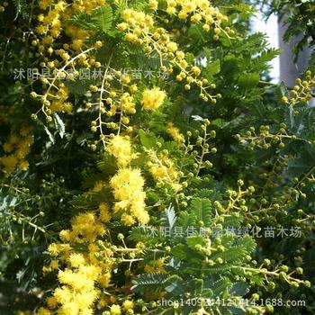 Acacia árbol Coneplanta Pato Plantoap árbol De Espino