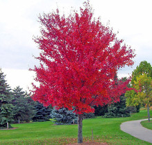 30 SEEDS/PACK JAPANESE RED MAPLE TREE WITH HERMETIC PACKAGE * VERY BEAUTIFUL * JAPAN MAPLE NEW SEEDS