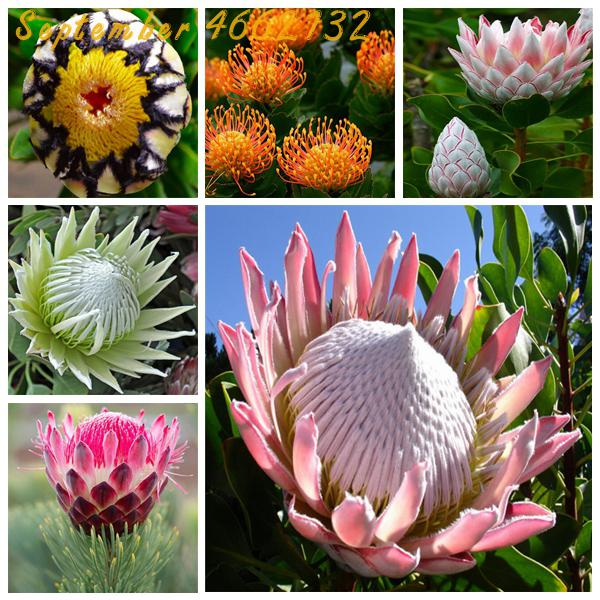 50 pcs Fresh Rare Protea Cynaroides Bonsai Easy Planting Rare Bonsai Flower Bonsai Variety Complete Fresh Rare Flower(China)