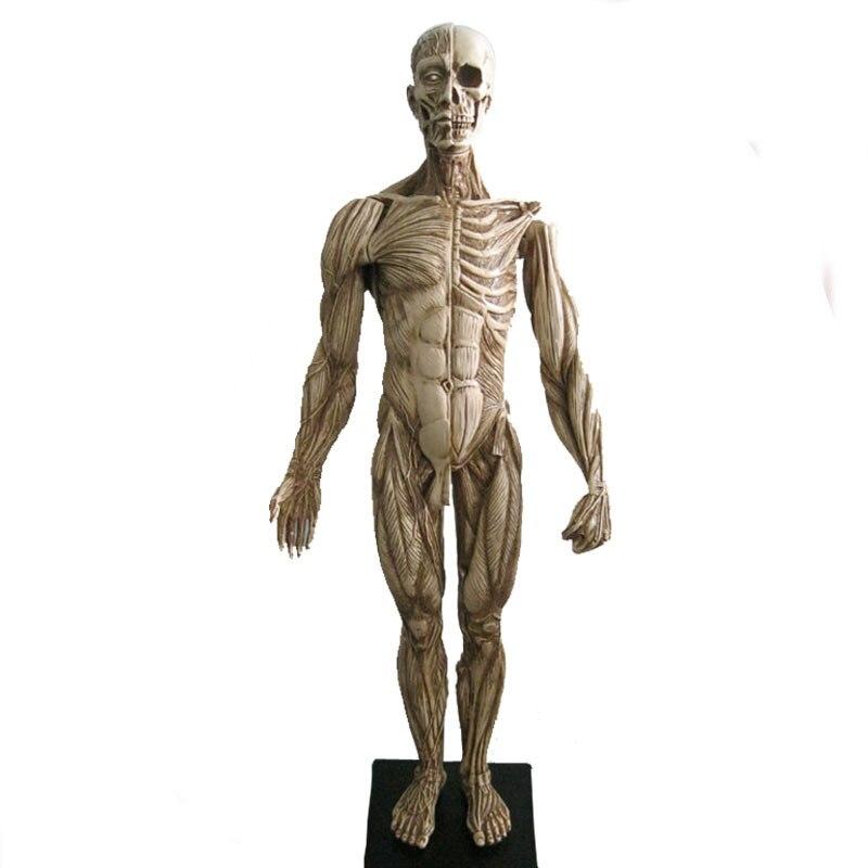 45 cm musculoesquelético humano modelo anatómico escultura ...