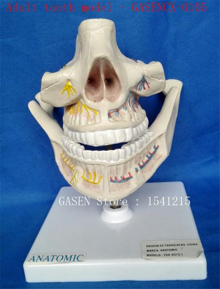 Human oral dental model Dental teaching model Teaching model Medical mold Adult tooth model - GASENCX-0105 reusable full titanium steel medical adult anaesthetic laryngoscope medical teaching