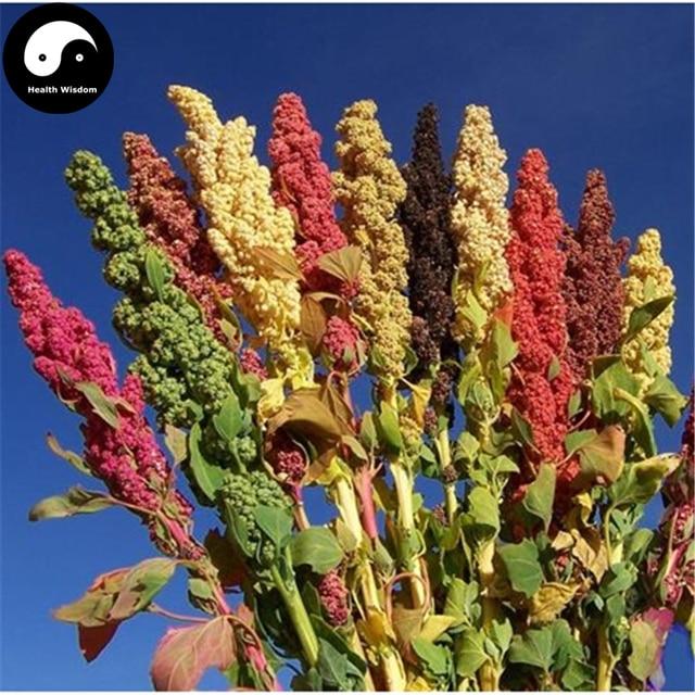 Kopen chinese quinoa zaden 100 stks plant graan quinoa for Plante quinoa