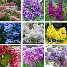 100PCS Beautiful 9 different colors Japanese bonsai potted lilac flower seeds DIY home garden