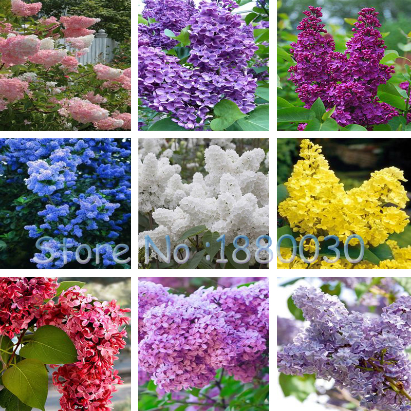 100PCS Beautiful 9 different colors Japanese font b bonsai b font potted lilac flower seeds DIY