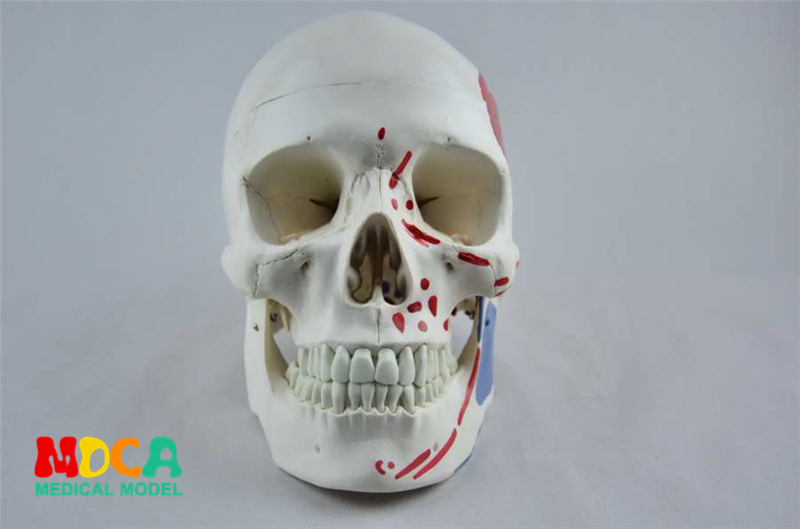 Medical use of human muscle start and stop nodding head bone skull model partition muscle model nerve Department of orthopedics herbal muscle