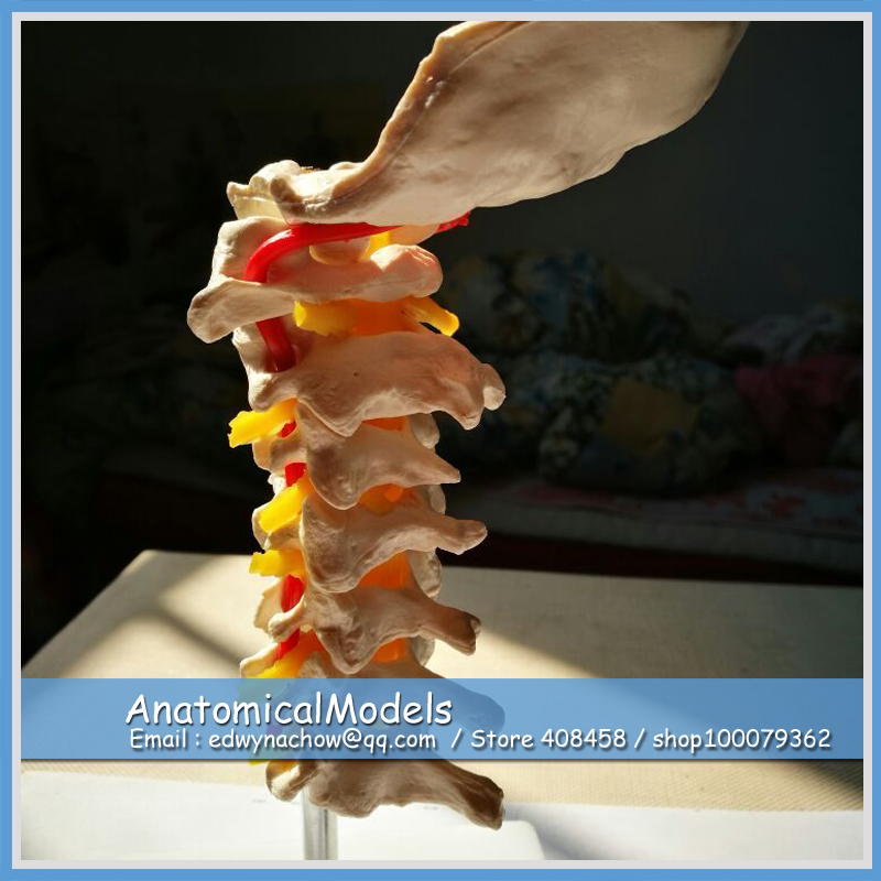 ED-ED008 Economic Vertebra Cervical Arteria Spine Nerves Model,  Medical Science Educational Teaching Anatomical Models economic methodology