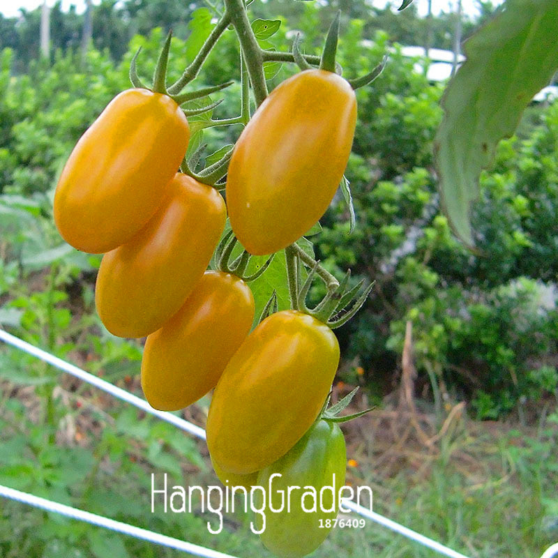 yellow cherry tomatoes - photo #14