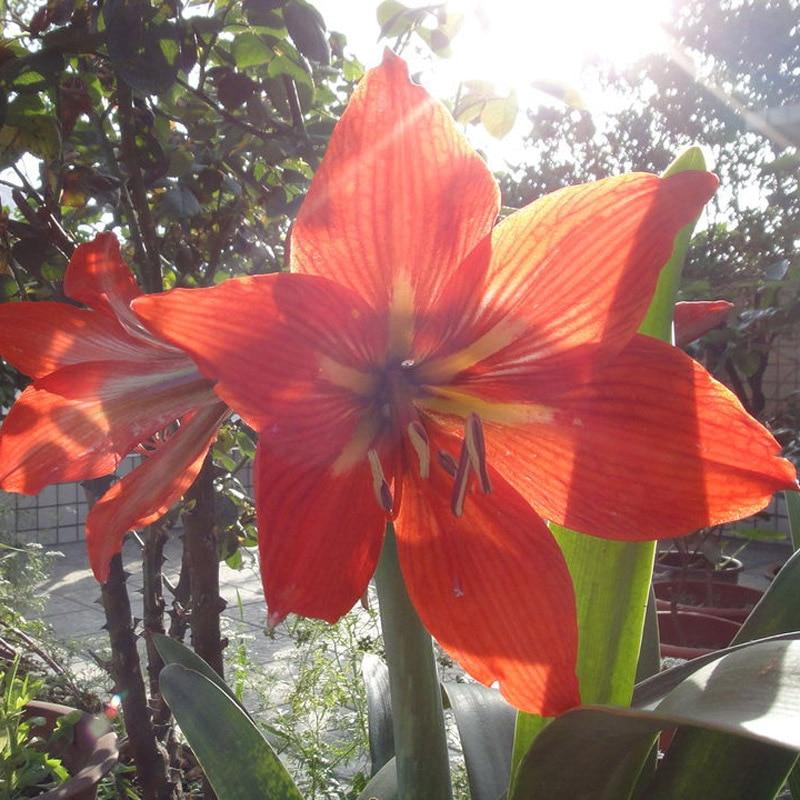 100% True Las Vegas Hippeastrum Seeds Roof Terrace Garden Patio Garden Seeds Barbados Lily Flower Seeds Potted Bonsai 50PCS