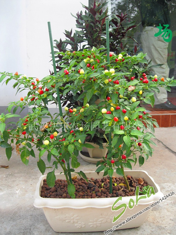 100 Seeds Of Cheers Pepper Ornamental Red Hot Chili Peppers Bonsai Chinese Vegetable Seeds For Casa E Jardim Seeds Design Seeds Squashseed Cucumber Aliexpress