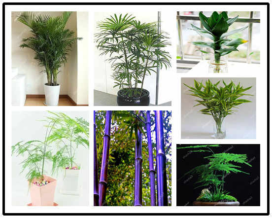 Lucky Bamboo Choose Potted Bonsai Variety Complete Dracaena plant The Budding Rate 95% 30 PCS/Pack