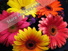 Gerbera chrysanthemum. grow. colors. seed, family perennial seeds, mixed easy plant
