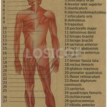 lámina anatomía RETRO VINTAGE