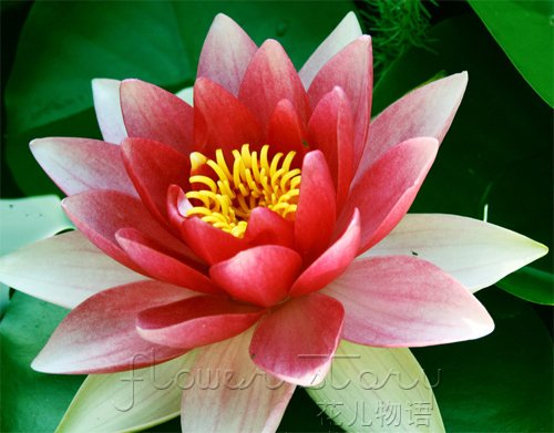 Free Shipping 20 Seed White Red Double Color Lotus Flower Seeds