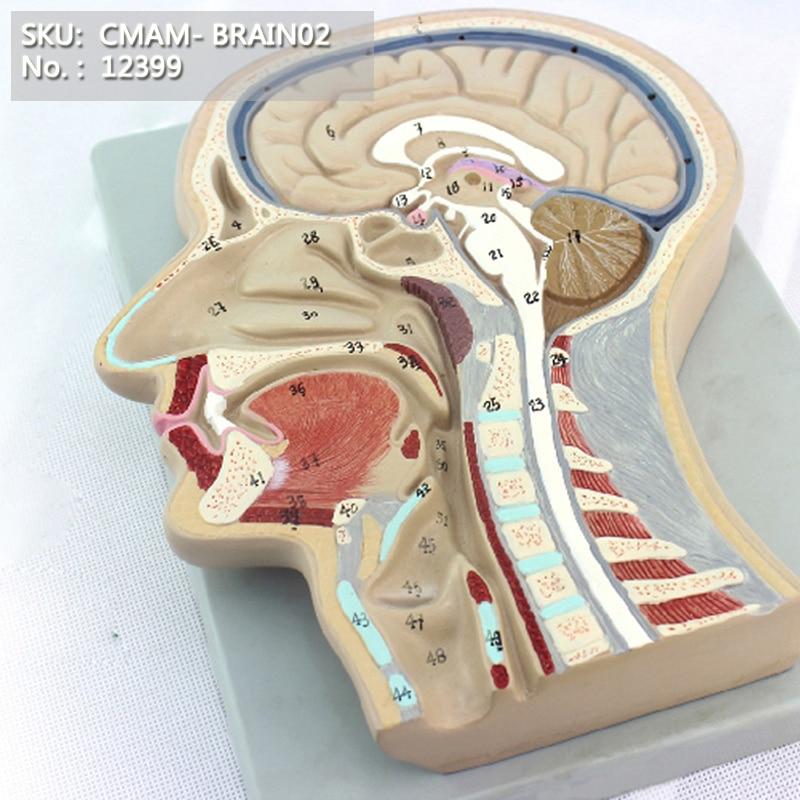 CMAM/12399 Median Section of Head (relief model), Medical Brain Anatomical Human ModelCMAM/12399 Median Section of Head (relief model), Medical Brain Anatomical Human Model