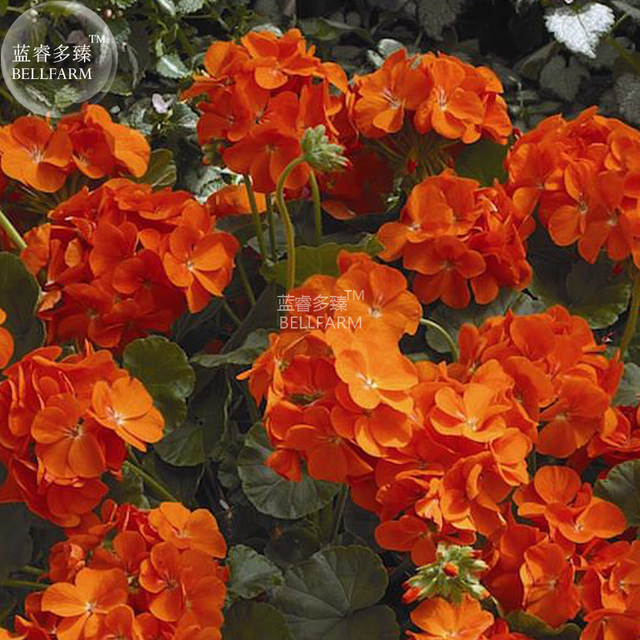 Bellfarm geranium maverick orange perennial flower 10pcspack bellfarm geranium maverick orange perennial flower 10pcspack bright orange flowers on healthy mightylinksfo