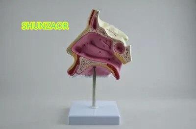 SHUNZAOR Human Nasal Anatomic Model Teaching Model Nose Model Ent Ent Medical Model