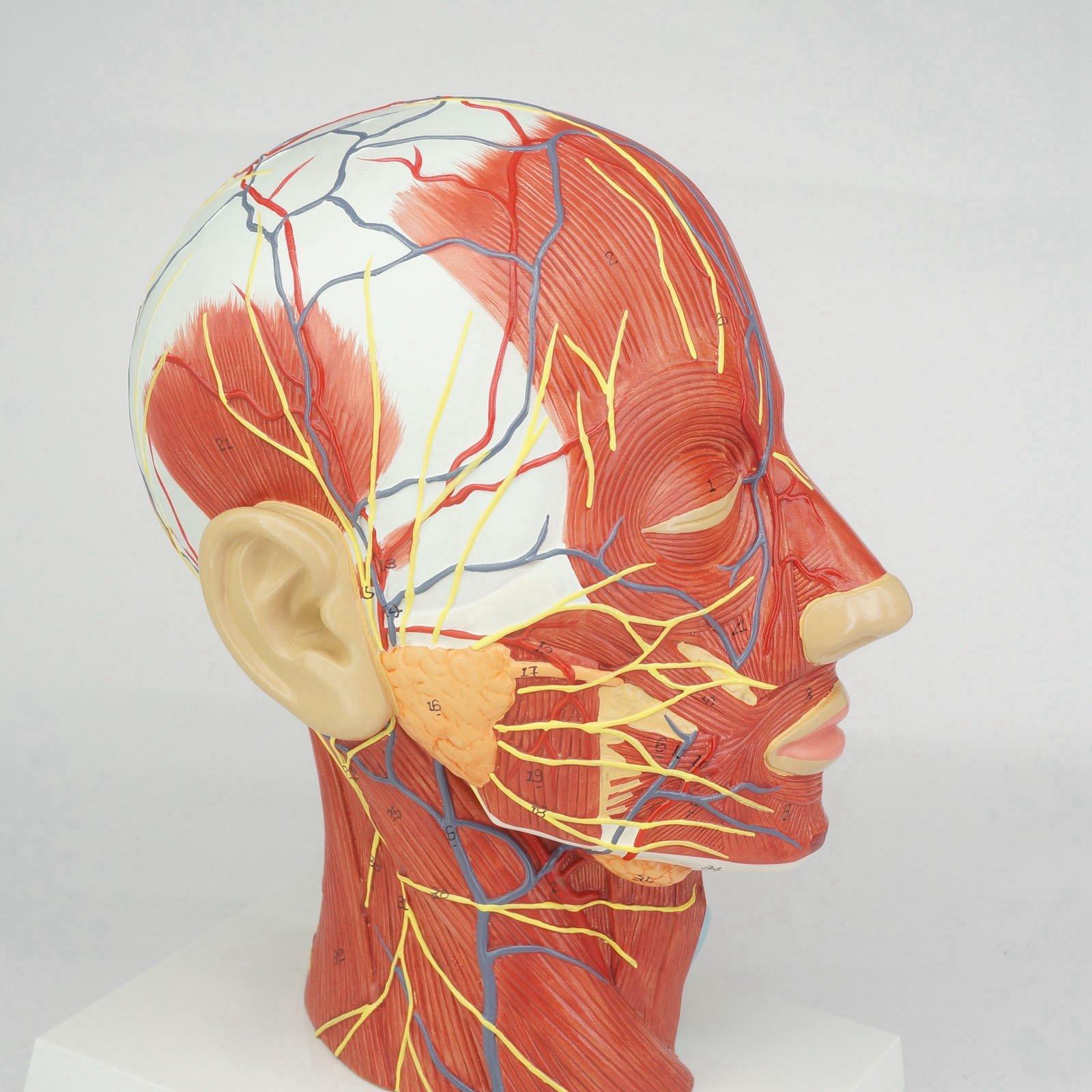 Ausgezeichnet Kopf Und Hals Anatomie Modell Bilder - Menschliche ...