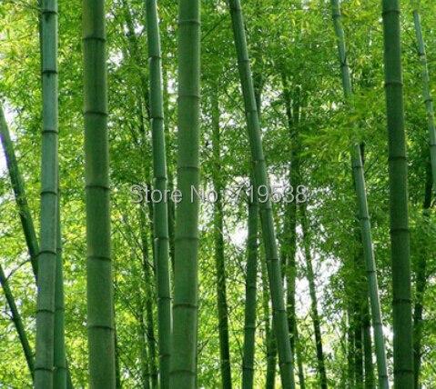 Безкоштовна доставка 100 + свіжий giant moso бамбука насіння для DIY саду додому предмети Домашнього Вжитку