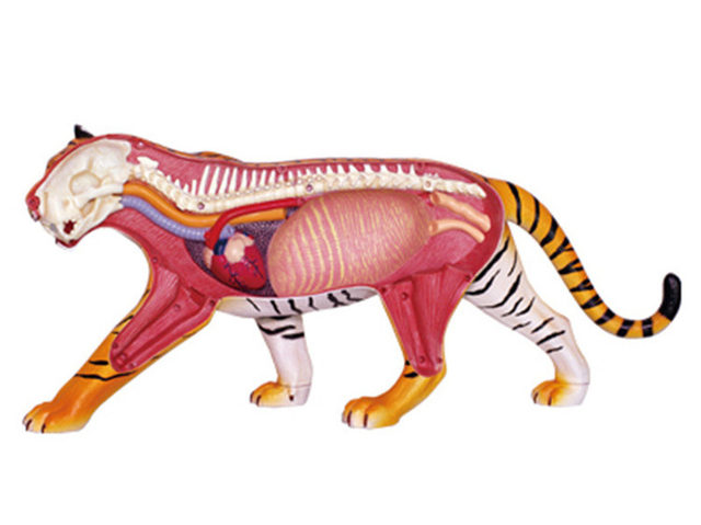 Tienda Online 4D maestro médico Tigre anatomía cráneo esqueleto ...