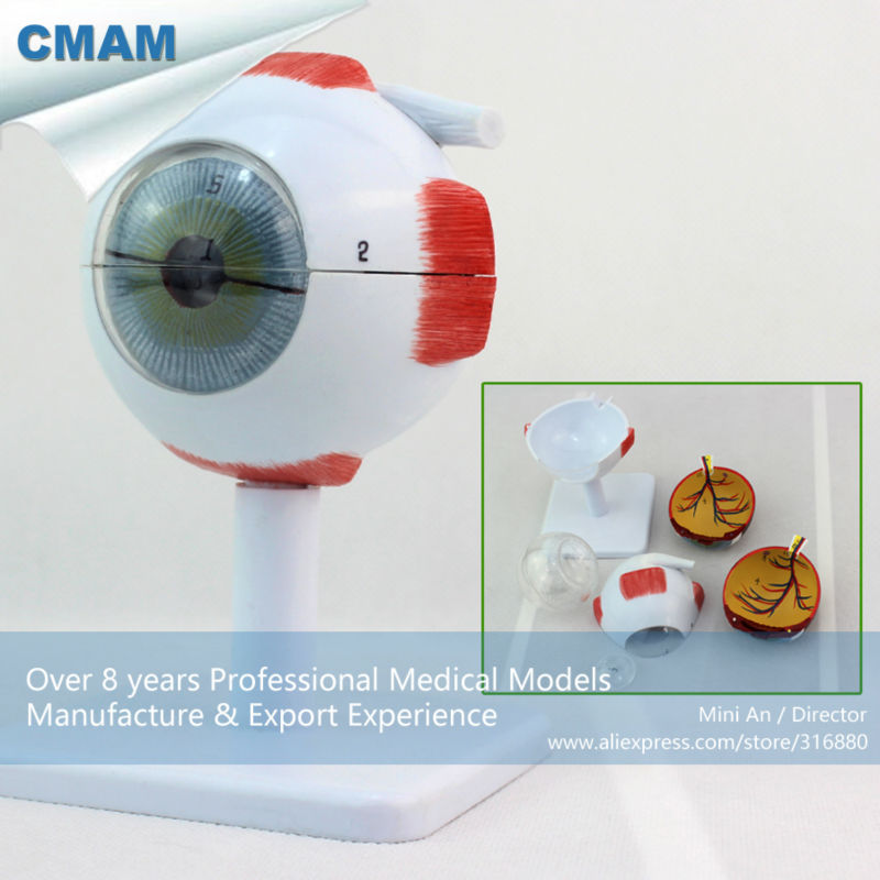 12526 CMAM EYE02 Medical Anatomy Model 3x Life size 6 parts Eyes ...