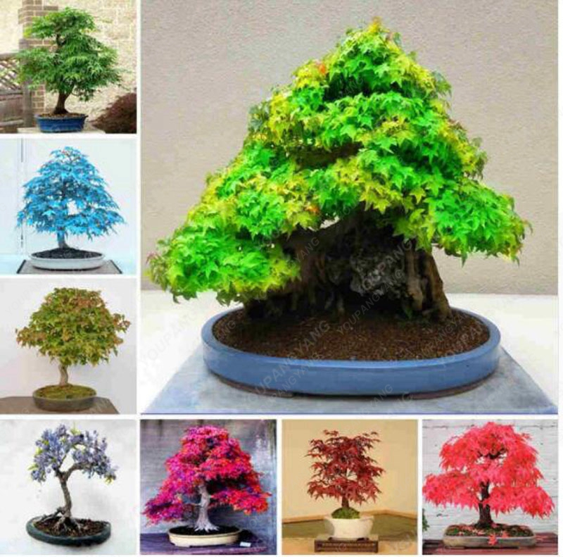 20 Bonsai Pack 100 Real Japanese Ghost Blue Maple Tree Bonsai Bonsai Acer Palmatum Atropurpureum Bonsai Sow All Year Buy At The Price Of 0 87 In Aliexpress Com Imall Com