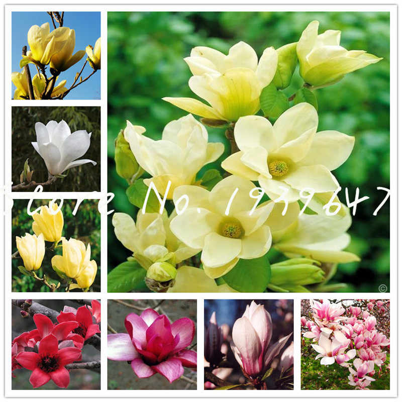 Big Promotion! 100 pcs Garden Plants Magnolia Bonsai Tree pot plants of Perennial outdoor Flower Multicolor Magnolia Flower Tree