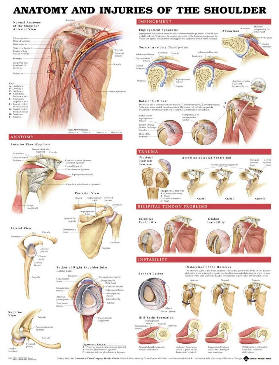 Shoulder Muscles And Bones Anatomy Silk Poster Art Bedroom ...