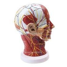 Baş boyun yüzeysel sinir vasküler kas modeli, İnsan, kafatası kas ve sinir kan damarı, okul tıbbi öğretim kaynağı