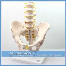 ED-PELVIS05 Male Pelvis Skeleton with Coccyx and 5 Lumbar Vertebrae,  Medical Science Educational Teaching Anatomical Models