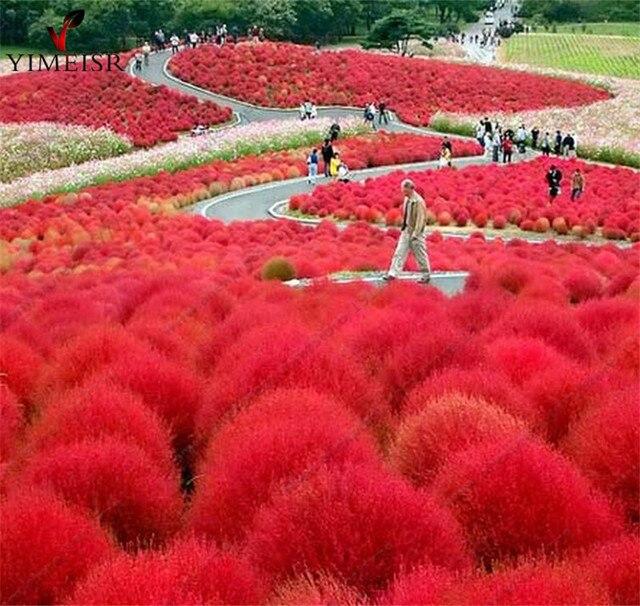 Ziergras Garten kochia scoparia samen brennen bush rote zier gras garten dekoration