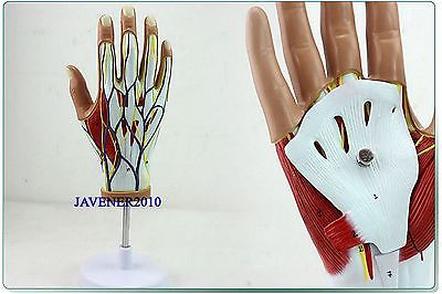 Life Size Human Anatomical Anatomy Hand Medical Model Muscle Nerve +Stand 1 2 life size knee joint anatomical model skeleton human medical anatomy for medical science teaching