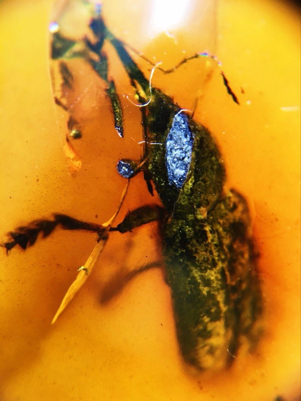(15mm) curculionidae weevil long trunk beetle untreated burmite Myanmar Burma Amber insect lynx stone dinosaurs age Cretaceous цена