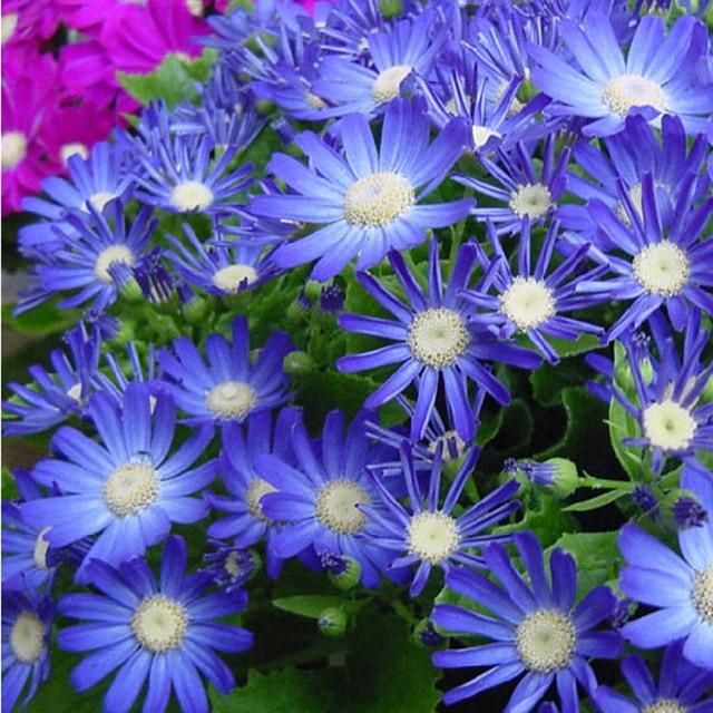 Blue Daisy Seeds, Blue Cineraria Seeds, 50pcs/pack
