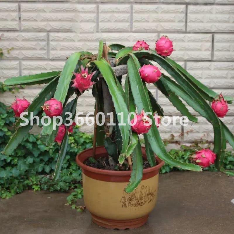 100pcs Seeds Red Dragon Pitaya Bonsai Tree Plant Flower House Garden Office