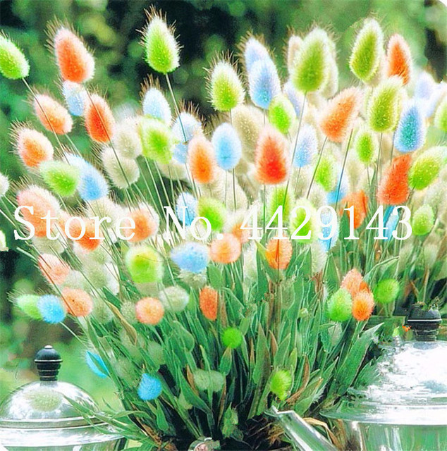 Hot Sale! 100 Pcs Rabbit Tails Grass Plant, Ornamental Grasses Bonsai for Home Garden Potted Plants Decor the Budding Rate 97%