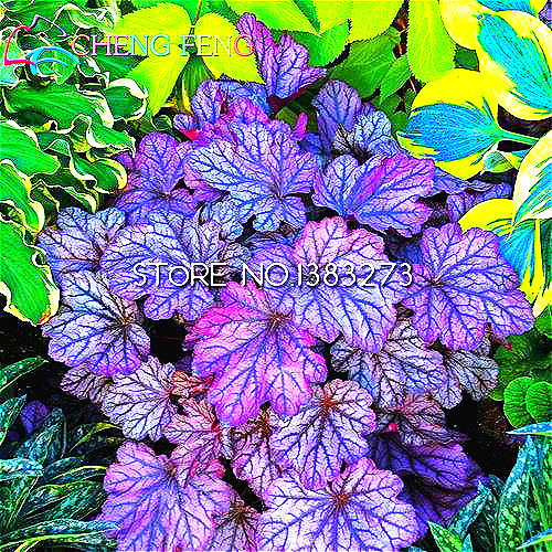100 Pcs/lot Heuchera Seeds Coral Flower Seeds Coral Bells Colorful Leaf Bonsai Plant Diy Home Garden Watch Flores Free Shipping