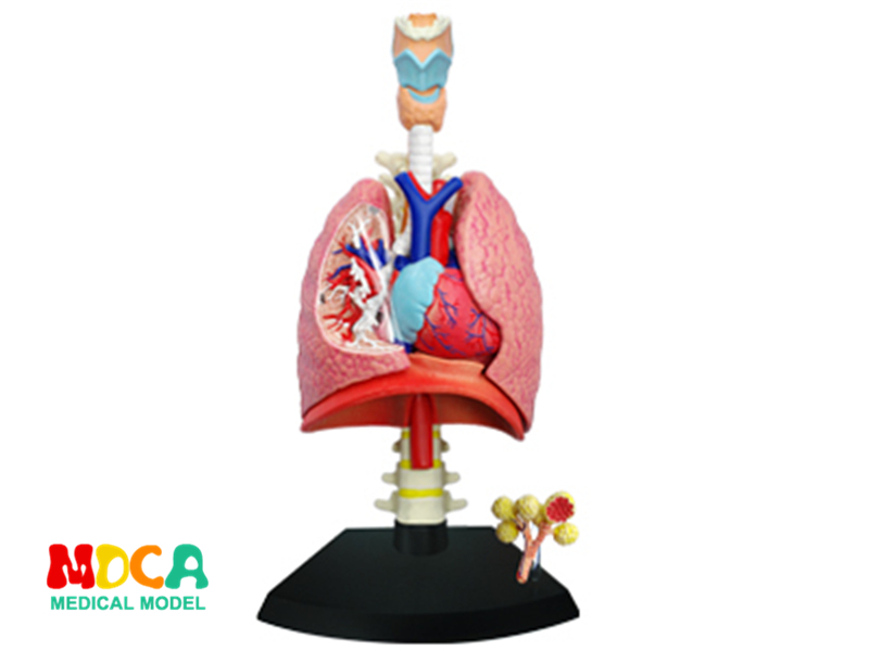 Lung 4d master puzzle Assembling toy human body organ anatomical model medical teaching model organ anatomical model teaching medical human body specimen model human lung anatomical model 4 parts gasencx 0055