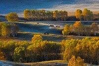 ภูมิทัศน์ธรรมชาติเบิร์ชต้นไม้ฤดูใบไม้ร่วงที่ราบสูงม้าหญ้าจีน