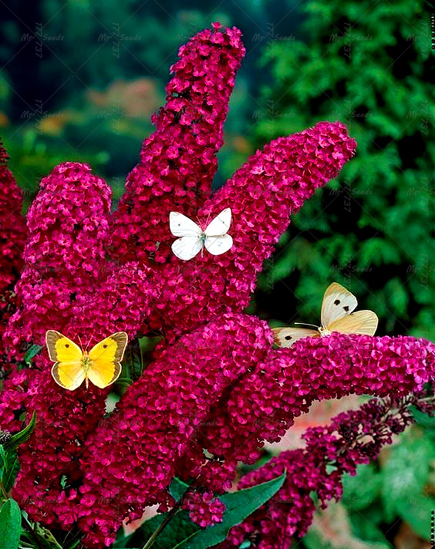unidsbolsa mariposa arbusto de semillas del rbol de la mariposa lila flor abierta