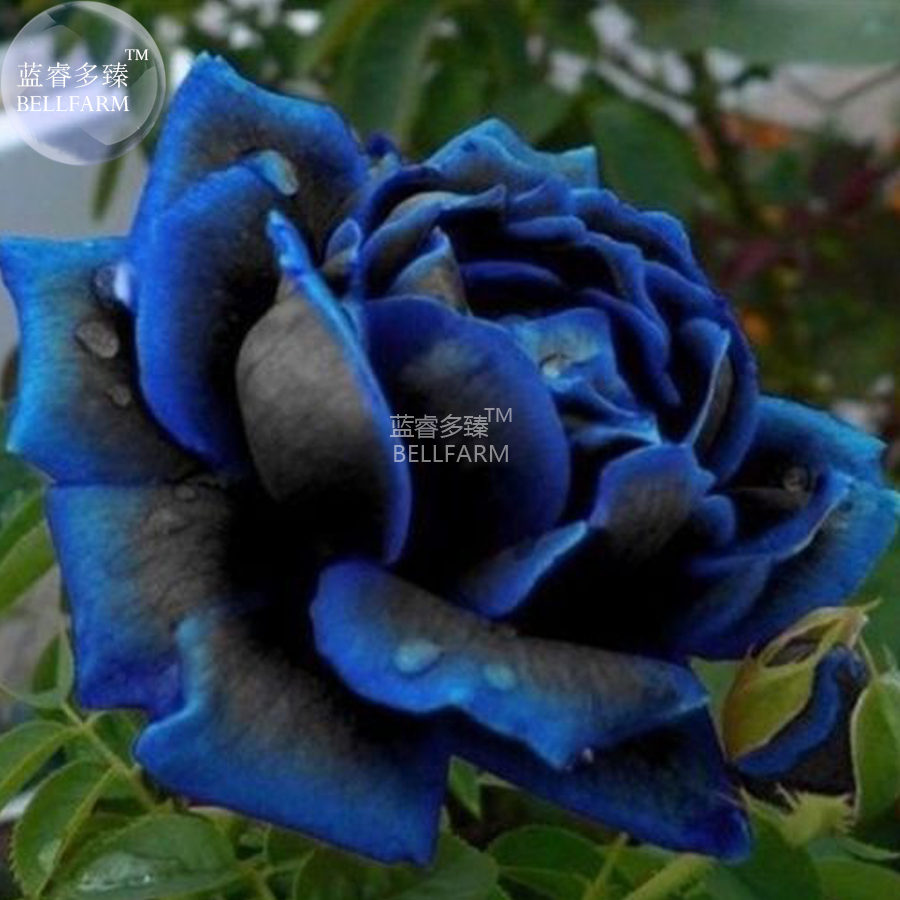 Bellfarm bonsai new midnight supreme dark blue rose bush flower high bellfarm bonsai new midnight supreme dark blue rose bush flower high germination 50pcspack in bonsai from home garden on aliexpress alibaba group izmirmasajfo