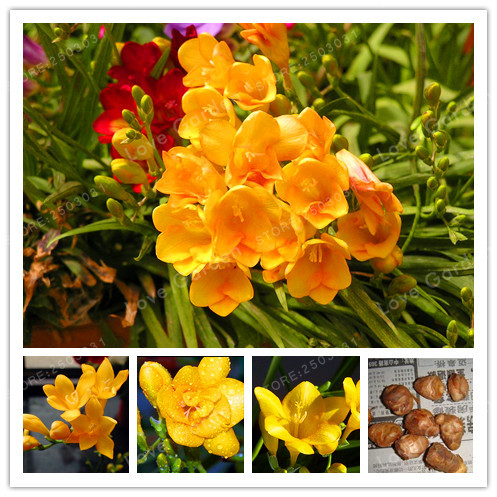 2 Bulbs Yellow Freesia Bulbs Indoor Potted Flowers Orchids,Freesia Rhizome Survival Rate Is High