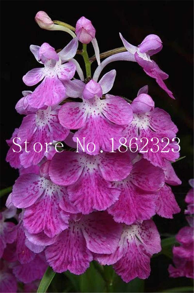 100 pcs סחלב פרחים קוף סחלב בונסאי רב שנתי מקורה פרחים לבית גן סיר צמח פרח Semillas אספקת גן