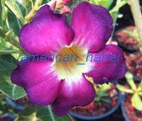 100 Genuine Purple Sirimongkol Adenium Obesum Seeds 100 SEEDS Bonsai Desert Rose Flower Plant Seeds