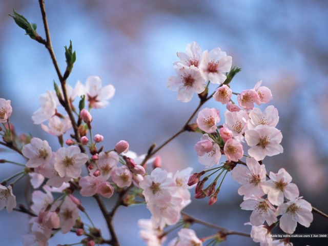 Rare Red Pink Anese Cherry Blossoms Courtyard Garden Bonsai Tree Small Sakura Mixed Colors 10