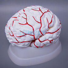 8 Parts Human Brain With Artery Fully Dissected Model for Medical Study Natural